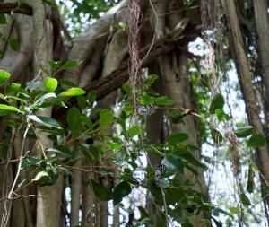 Anuradhapura butterflies
